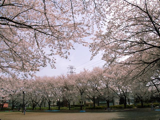 桜 さくら SAKURA Vol.2-1