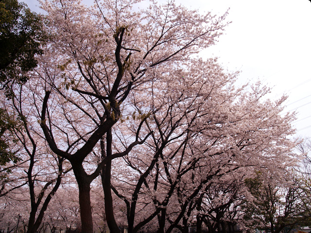 桜 さくら SAKURA Vol.2-2